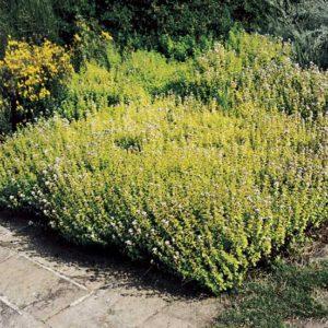 Αρωματικά - Φαρμακευτικά Φυτά / Βότανα